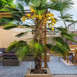 De Palmboom in eigen tuin