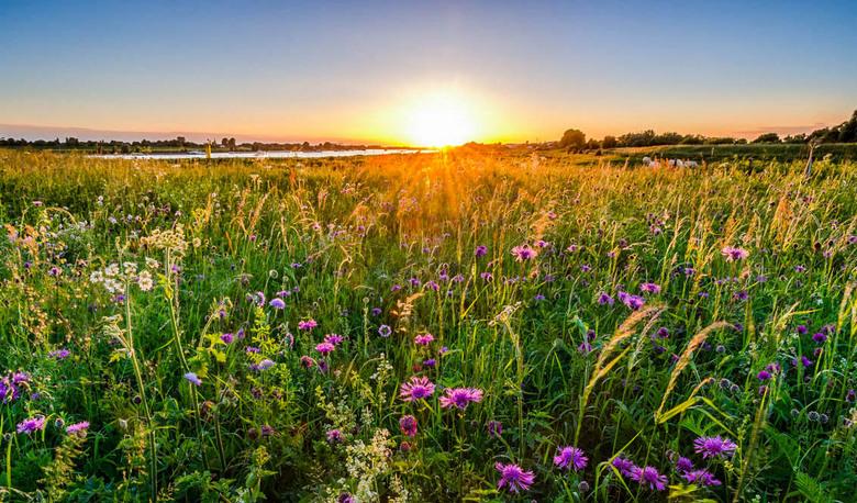 Strijklicht - De laatste zonnestralen over een veld met distels.  Op de achtergrond is nog een stukje van de Rijn te zien.