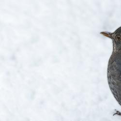 Merel in de sneeuw