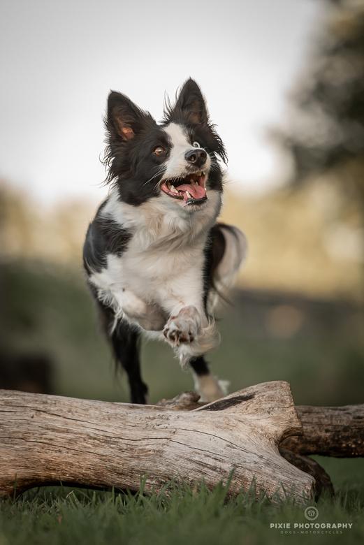 Aiyana (border collie) - Honden fotograferen op de hondenschool