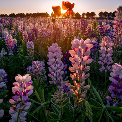 Lupin Sunset