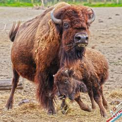 Bison-kid