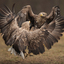 White-tailed Eagle dance.