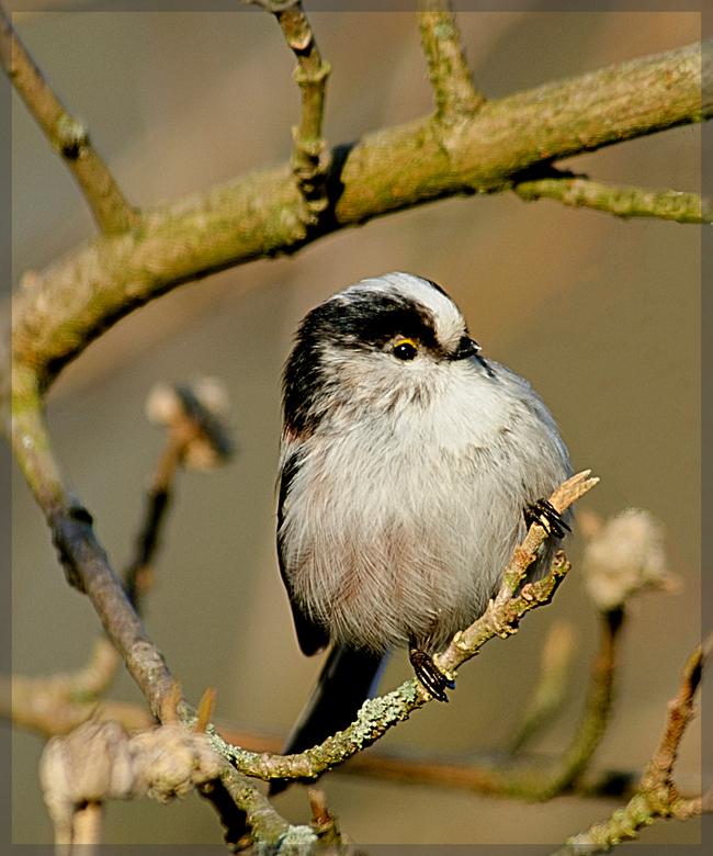 Staartmeesje - Ze blijven mooi.......<br /> <br /> gr jan<br /> http://www.birdwatchbelgium.be/