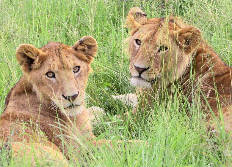 Lions in the Serengeti grass