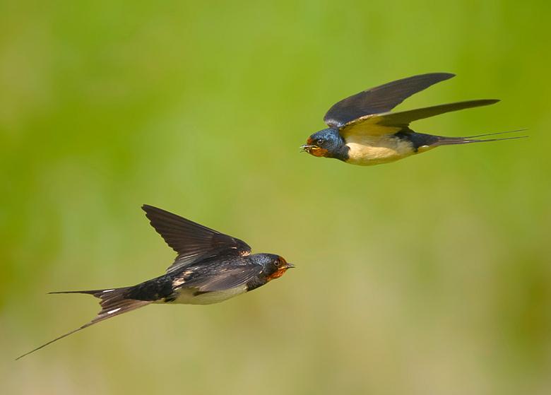 JACHTESKADER - Heel laag in scheervlucht over het grasland, jagend op insecten.