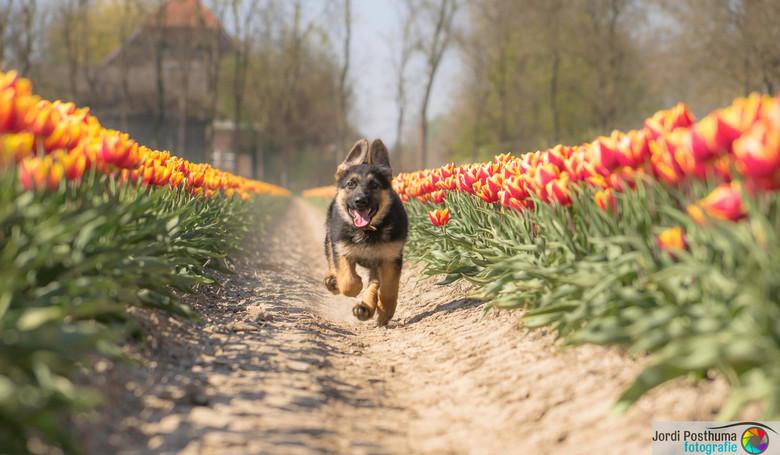 mijn eigen tulp -
