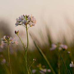 Pinksterbloemen in de nog maar net zakkende zon.