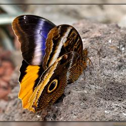 Vlindertuin 2: Caligo atreus