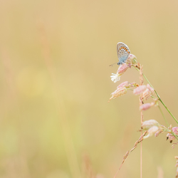 Little silver-studded blue