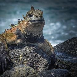 Marine Iguana, Galapagos Eilanden
