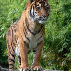 sumatraanse tijger Blijdorp
