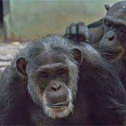 chimpansee 03