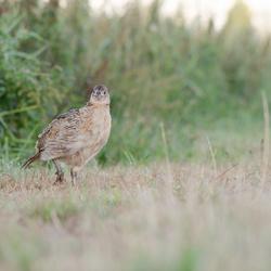 jonge fazant
