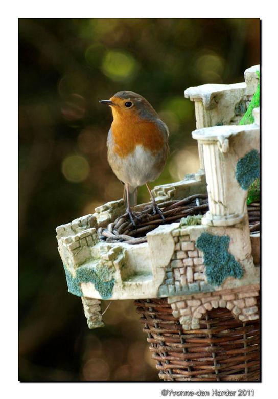 nog een roodborstje - nog een foto van  het roodborstje nu op een voeder-plantenmandje welke onder het vogelhuisje hangt. Vanuit het keukenraam genome