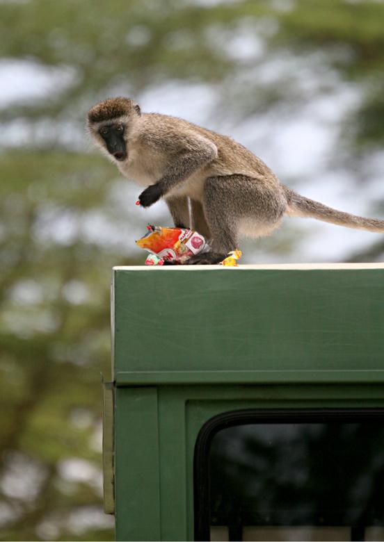 Eerlijk gepikt!!!! - In Kenia tijdens een stop kwamen een paar brutale apen op onze truck af en een aap kon zelfs een zakje napoleon zuurtjes uit de t