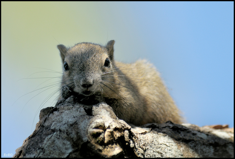Bewerking: Balinese eekhoorn - Dit is de bewerking Rien, ik heb in PS de foto gedeeltelijk iets opgelicht . groetjes Afiena