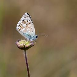 bleekblauwtje