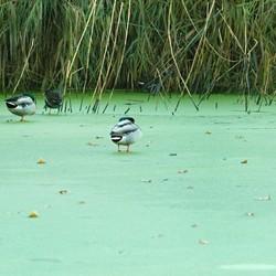 Watervogels op bevroren kroos. Foto 1.