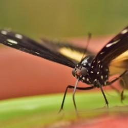 etende vlinder