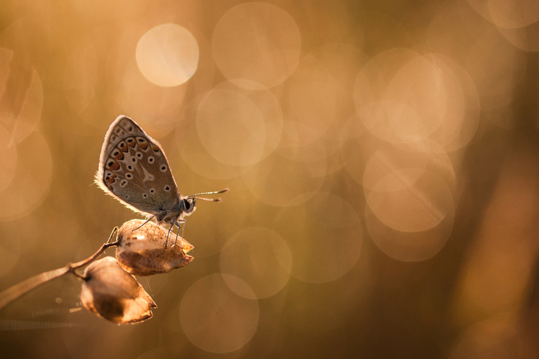 Sprankelende morgen - Vanmorgen vroeg wakker, de temperatuur was gunstig, dus op naar de vlinders. Het zat werkelijk vol met blauwtjes en er hing nog