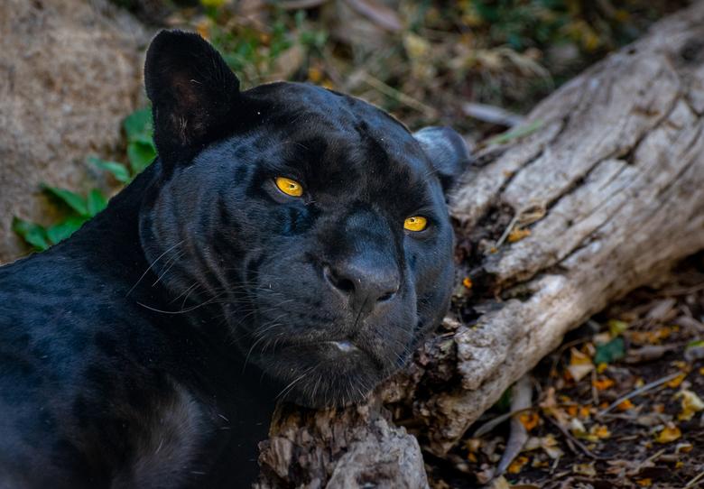 Black Jaguar - Terra Natura Benidorm