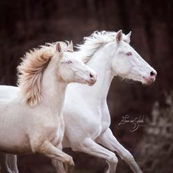 connemara's mother stallion