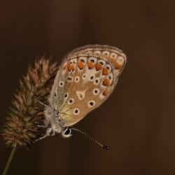 model vlindertje