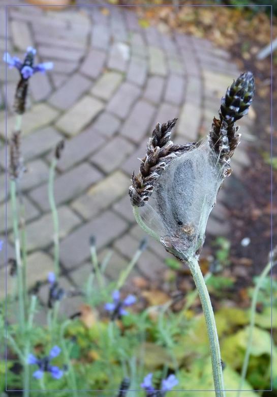 Ontpoppen - zelfs in deze toch al enigszins winterse kou probeert een rupsje zich nog tot vlindertje te ontpoppen in de nog steeds (!) bloeiende laven