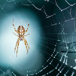 Bokey Spider