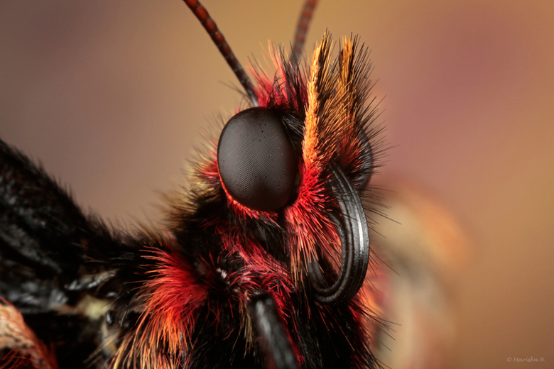 sweet butterfly - De zuidelijke pijpbloemvlinder (Zerynthia polyxena) van dichtbij.