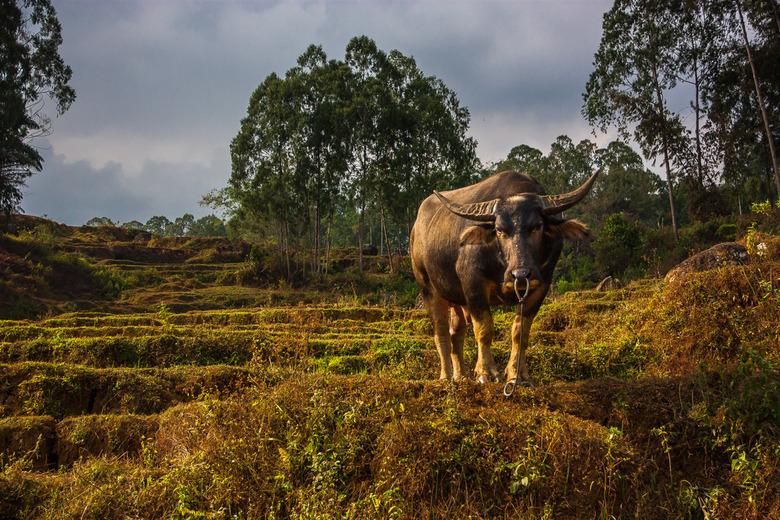 Standing firm - De waterbuffel heeft een bijzondere status in Sulawesi. Ze vormt de spaarpot voor de Tana Toraja. Als zodanig worden ze behoorlijk ver