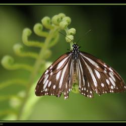 Vlinder Borneo