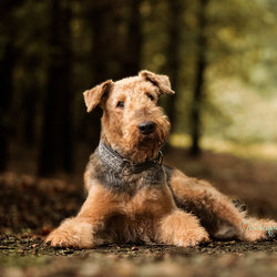 airedale portret