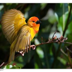 kenia golden palm wever