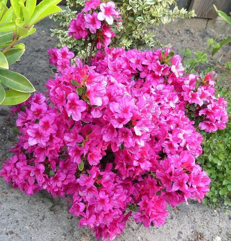 P1010032 PINK RIBBON nr15  thuis in de tuin   7mei 2018 - Hallo Zoomers , GROOT kijken en even lezen . Vandaag weer een Pink Ribbon compo als bijdrage