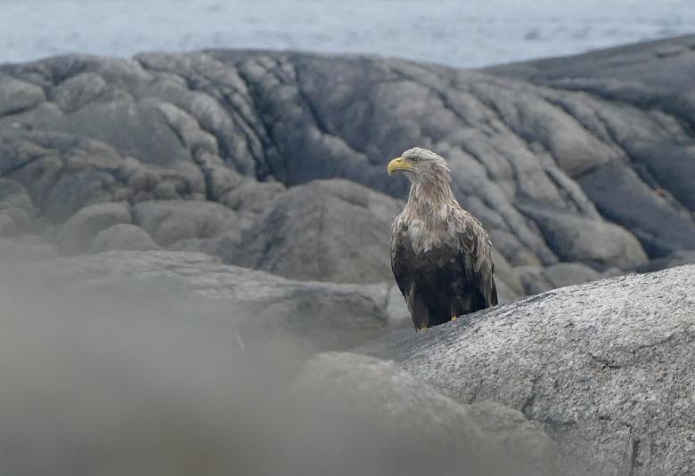 Zeearend, zittend, Noorwegen
