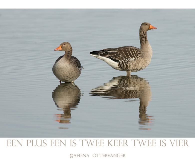 4 Grauwe Ganzen... - gewoon voor de grap...dat krijg je als je telkens een titel moet verzinnen!<br /> Deze Kolganzen aan het Lauwersmeer kunnen vast