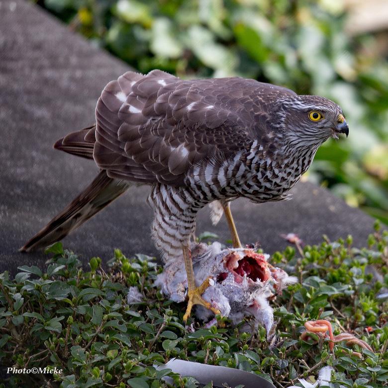 """Zondagmaal - Wat een geluk vandaag. Zomaar (ik denk) een Havik met een duif in de tuin<br /> <br /> Bedankt voor jullie reacties op <a href=""""https:/"""