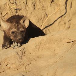 Jonge Hyena  Krugerpark