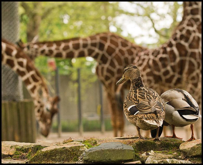 dappere beesten die giraffes............