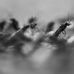 Vliegende mieren zwart wit