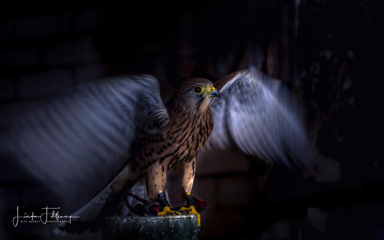 Valkje  - Torenvalkje met uitslaande vleugels bij een valkenier gefotografeerd.