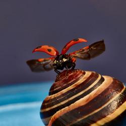 Lieveheersbeestje stijgt op van een slak