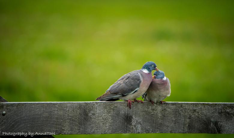 duifjes - Verliefde duifjes