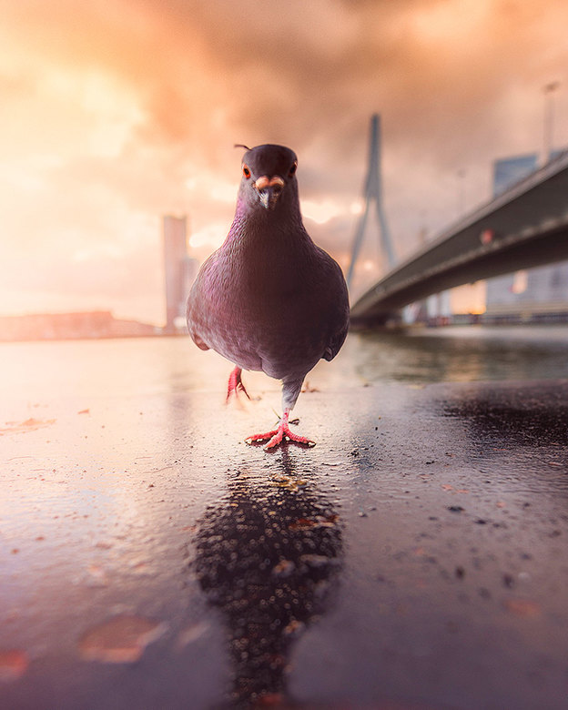 The Pigeon -