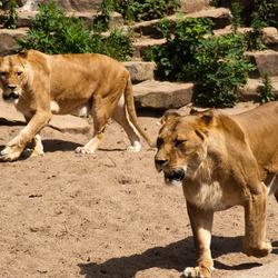 Leeuwen in het park