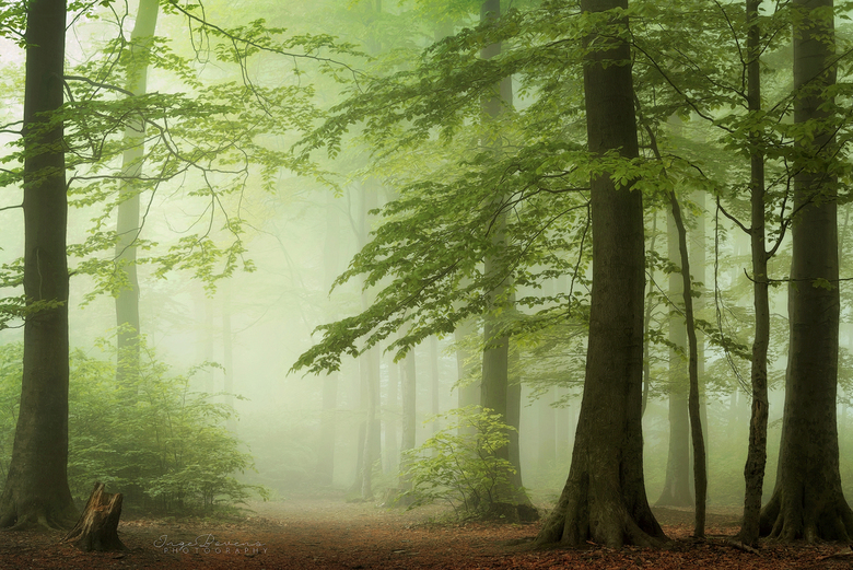 Fairy Forest. -