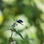 Blauwe muntgoudhaantje