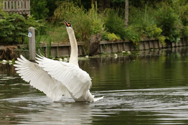 Imponeren - Imponerende pose van de zwaan. Even laten zien dat ie over zijn familie waakt.